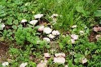 Field of mushrooms